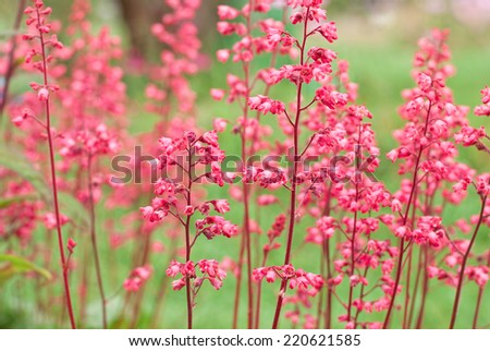 Heuchera (alumroot or coral bells) is a genus of herbaceous perennial plants in the family Saxifragaceae. Shallow DOF - stock photo