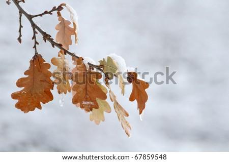 Hi-res oak leaves in snow - stock photo