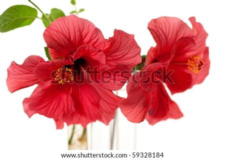 hibiscus flower - stock photo