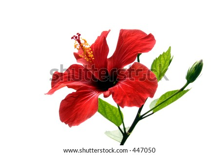 Hibiscus flower and shoot isolated - stock photo