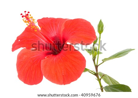 Hibiscus flower and shoot isolated on white - stock photo