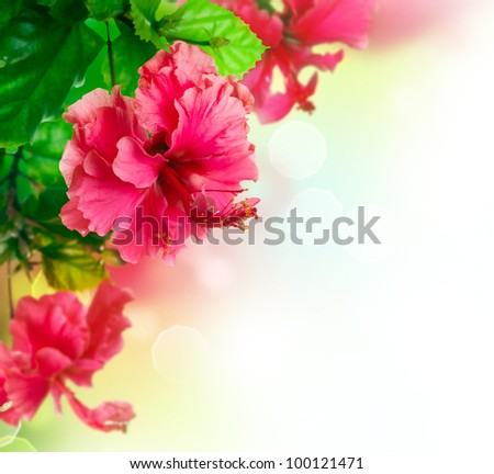 Hibiscus Flower border Design over white - stock photo