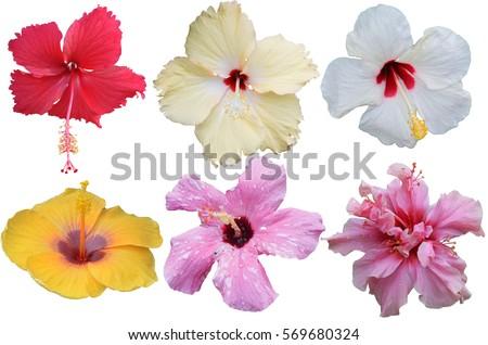 Hibiscus Flower Isolated Flower Die Cut Stockfoto (Lizenzfrei ...
