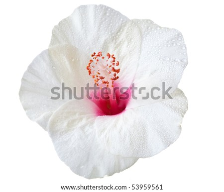 hibiscus flower isolated on a pure white background - stock photo