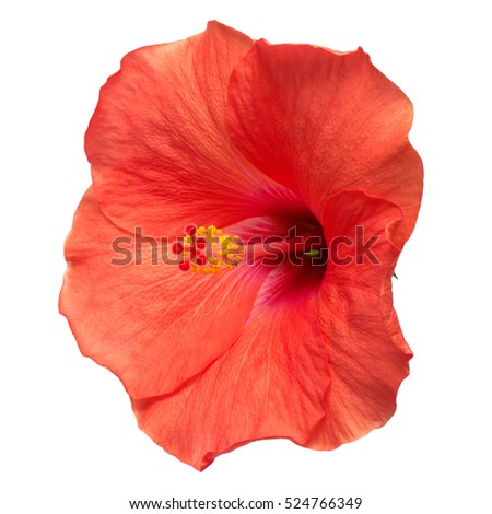 Hibiscus flower isolated on a white background. Flat lay, top view.