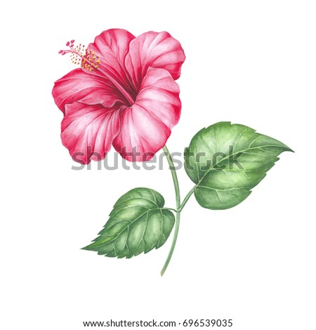 Tree mallow stock images royalty free images vectors shutterstock hibiscus flower isolated on a white background watercolor botanical illustration red hibiscus flowers isolated ccuart Image collections