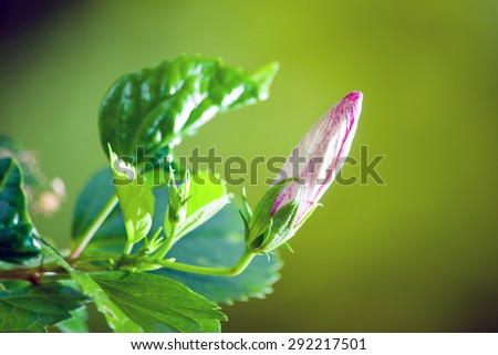 hibiscus flower isolated on natural