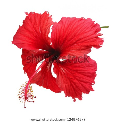 Hibiscus flower isolated on white - stock photo