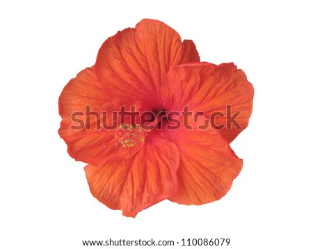 Hibiscus flower isolated on white (clipping path included) - stock photo