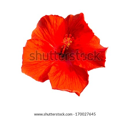 Hibiscus Flower on white background.