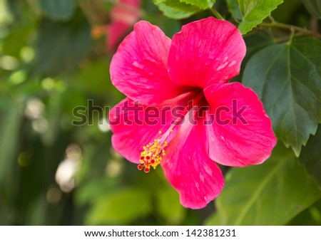 Hibiscus Flower or Chinese Rose, Shoe Flower. Shallow focus - stock photo
