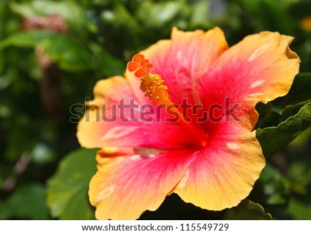 Hibiscus flower pollen. - stock photo