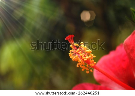 hibiscus flower pollen with sun ray - stock photo