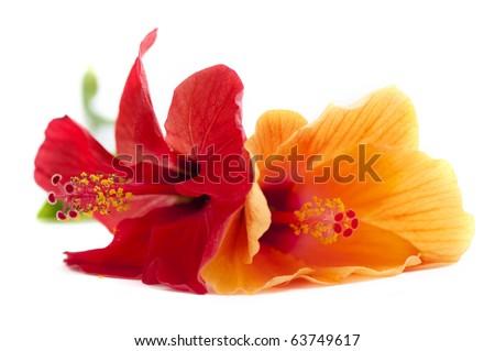 hibiscus flower, shallow DOF - stock photo
