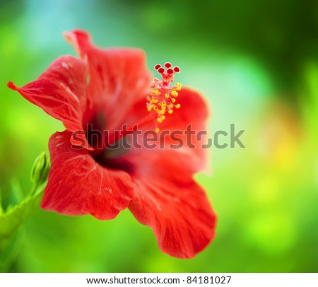 hibiscus flower stock images, royaltyfree images  vectors, Beautiful flower