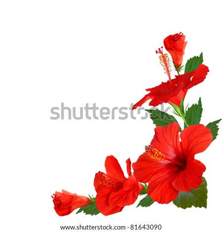hibiscus flowers stock photo   shutterstock, Beautiful flower