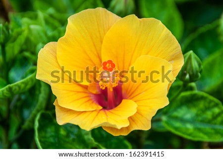 Hibiscus flowers are a genus of flowering plants in the mallow family, Malvaceae - stock photo