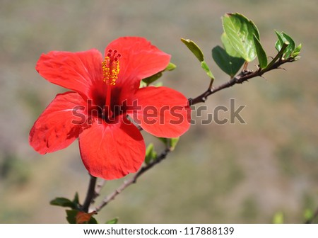 Hibiscus flowers in the sunny day, Tenerife, Canary islands, Spain - stock photo