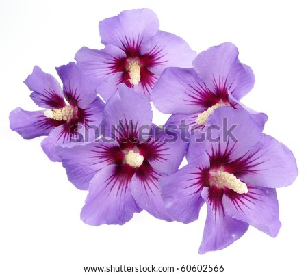 hibiscus flowers isolated - stock photo