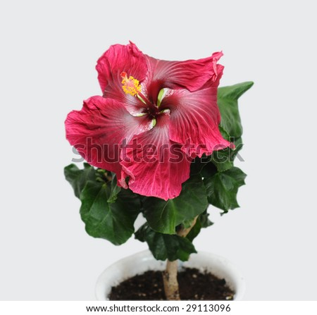 hibiscus in a flowerpot - stock photo