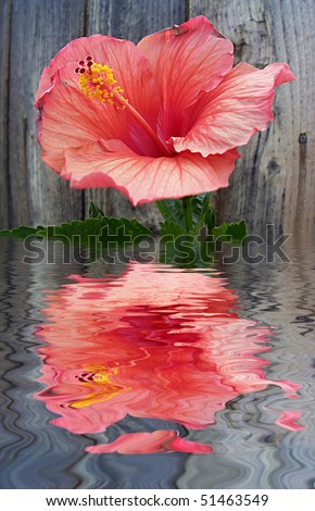 Hibiscus is a genus of flowering plants in the mallow family, Malvaceae. - stock photo