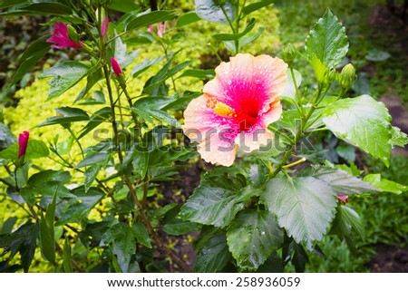 Hibiscus rosa-sinensis flower on tree in the garden - stock photo