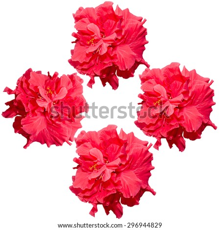 Hibiscus rosa-sinensis red flower, known as Chinese hibiscus, China rose, Hawaiian hibiscus, shoeblackplant. - stock photo