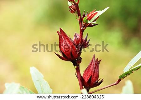 Hibiscus sabdariffa or roselle fruits  - stock photo