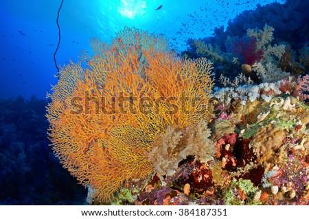 Hickson's fan coral (Subergorgia hicksoni Kashman) in the Red Sea, Egypt.  - stock photo