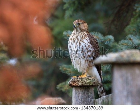 Hidden between an arbor vitae and a blue spruce, a hawk sits atop a fence post waiting for unsuspecting prey.