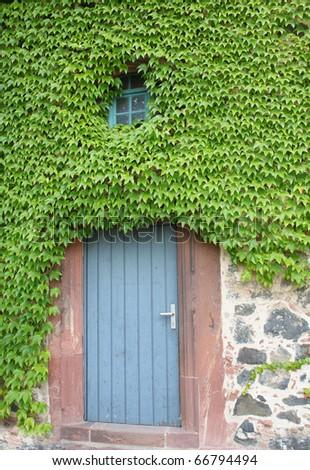 hidden door with ivy - stock photo