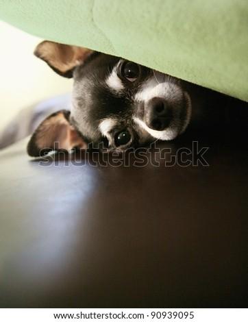 hiding chihuahua - stock photo