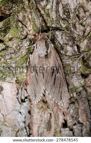 hiding pine hawkmoth (vertical macro) - stock photo
