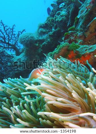 Hiding Skunk fish, East Timor - stock photo