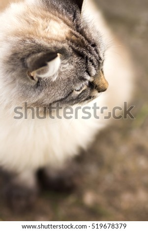 High angle portrait of a Siamese cat sitting on the ground