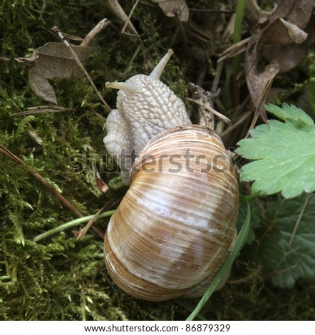 high angle shot of a grapevine snail in natural back - stock photo