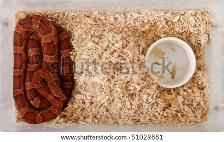 High angle view of corn snake or red rat snake, Pantherophis guttattus, in cage - stock photo