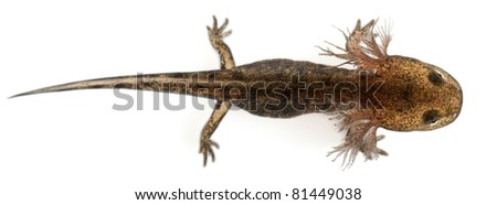 High angle view of Fire salamander larva showing the external gills, Salamandra salamandra, in front of white background - stock photo