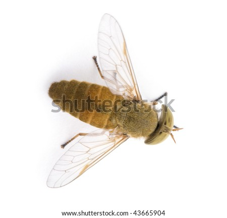 High angle view of Horse-fly, Atylotus rusticus, in front of white background - stock photo