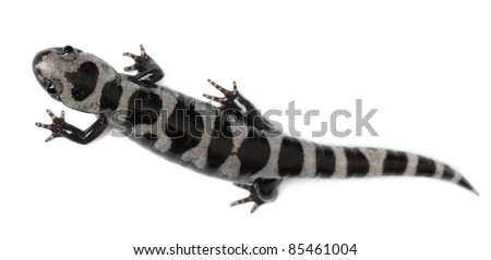 High angle view of Marbled Salamander, Ambystoma opacum, in front of white background - stock photo