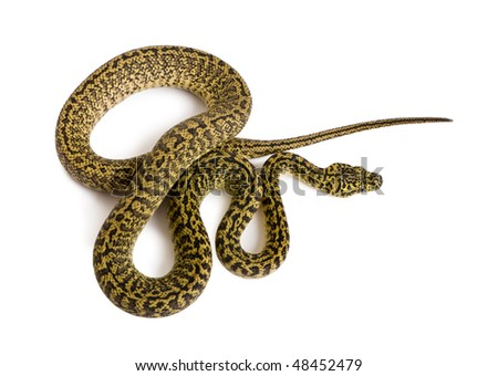 High angle view of Morelia spilota variegata, a subspecies of python, against white background - stock photo