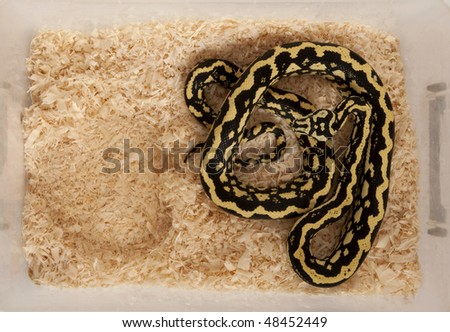 High angle view of Morelia spilota variegata, a subspecies of python, in a cage - stock photo