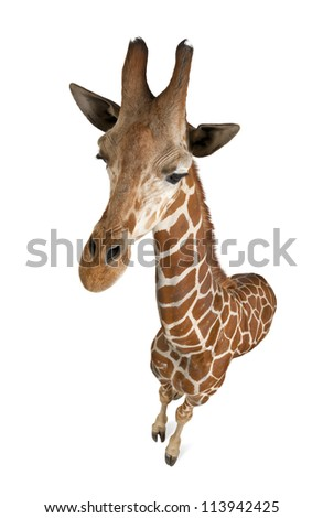 High angle view of Somali Giraffe, commonly known as Reticulated Giraffe, Giraffa camelopardalis reticulata, 2 and a half years old standing against white background - stock photo
