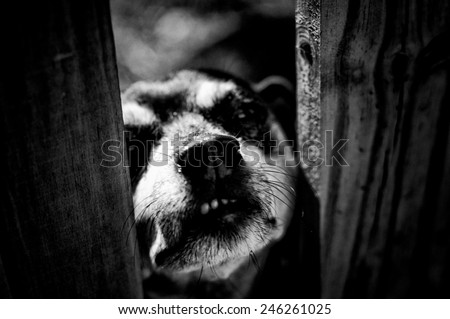 High Contrast black and white image of mini doberman dog snarling through fence at viewer. - stock photo
