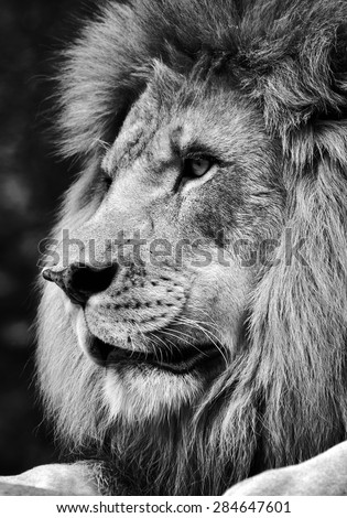 High contrast black and white of a powerful male lion face - stock photo