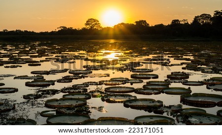 High contrast Sunset in Brazilian Pantanal with victoria regias and water - stock photo