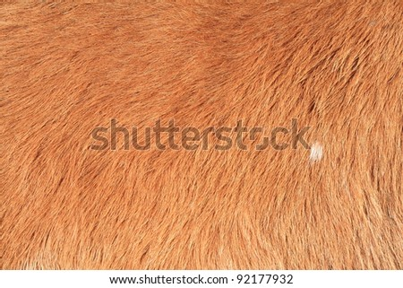 high detail of cow fur  in close-up shot. - stock photo