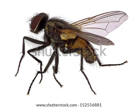 High detailed close up  of a house fly (Musca  domestica) - stock photo