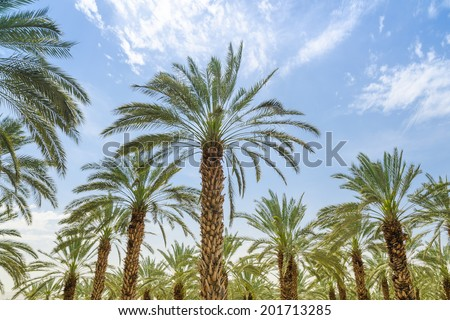 High figs date palm trees in Middle East orchard oasis middle of desert and lush leafage against blue sky - stock photo