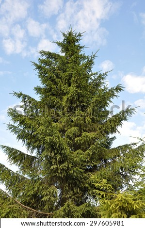 High fir-tree ( Christmas tree ) against the blue sky - stock photo